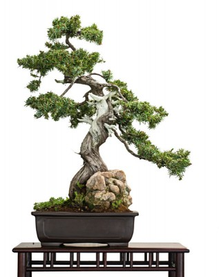 Old Juniper as Bonsai Tree, Japan