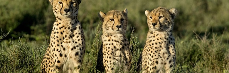 Three Cheetahs Sitting, Serengeti, Tanzania