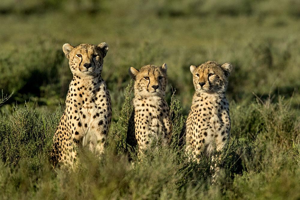 Three Cheetahs Sitting, Serengeti, Tanzania