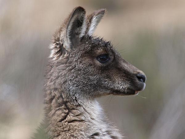 Wallaby, Kosciuszko National Park, Snowy Mountains, New South Wales, Australia
