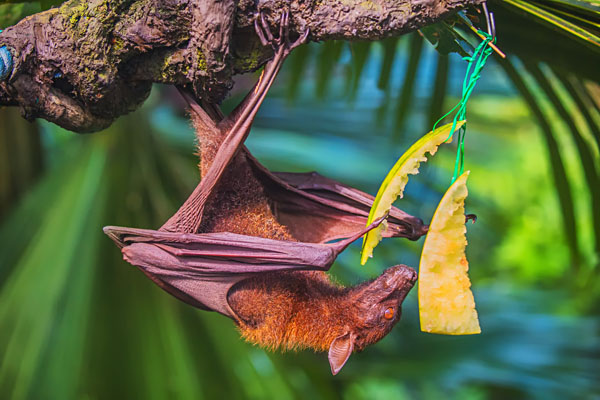 Malayan Flying Fox Bat Eating Fruits and Hanging on a Tree Branch, Singapore