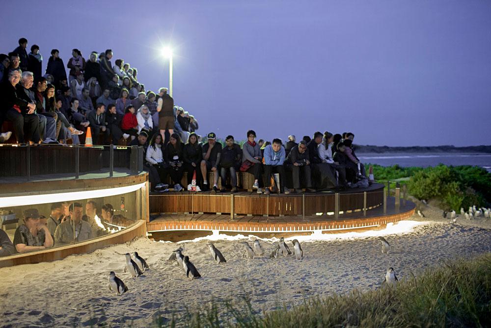 Phillip Island Penguin Parade Penguins Plus Viewing, Victoria, Australia