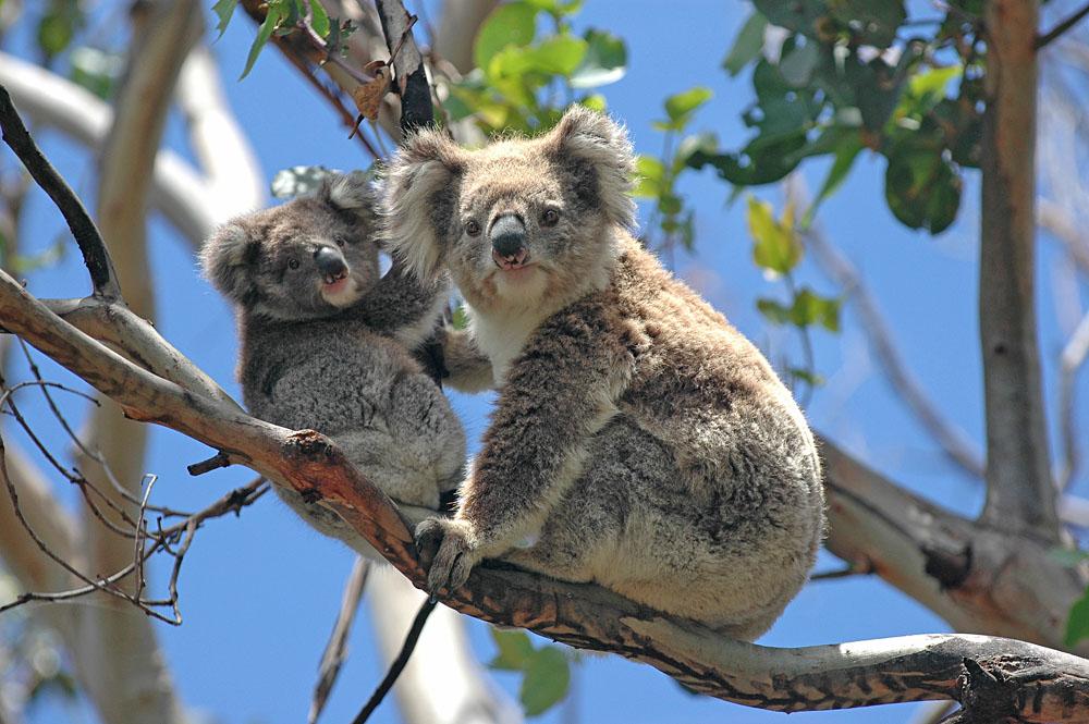 Wild Koalas Along Great Ocean Road, Victoria, Australia