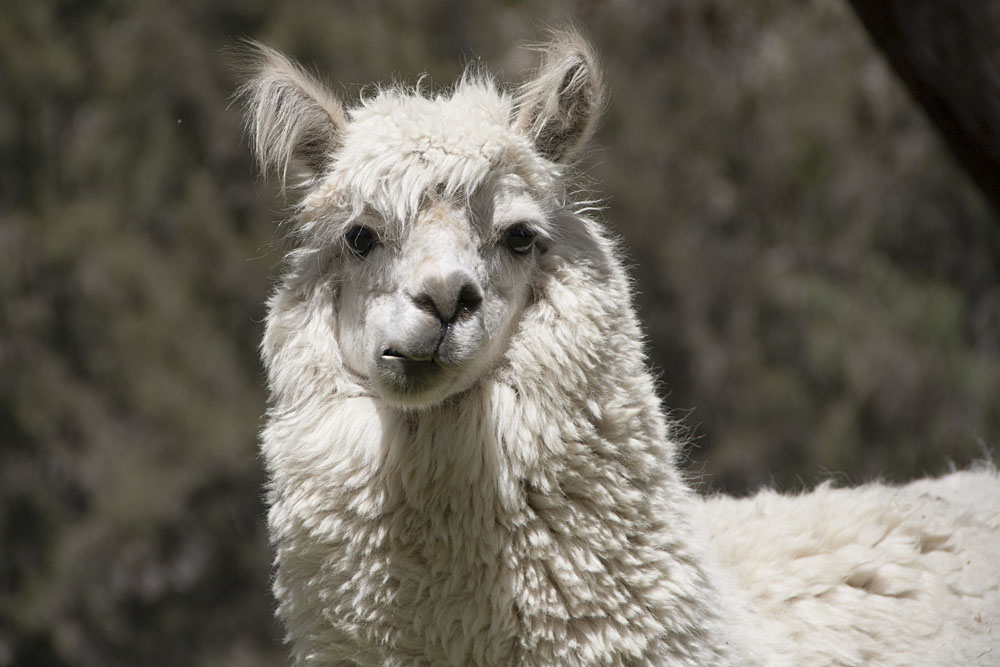 Chewing Llama, South America