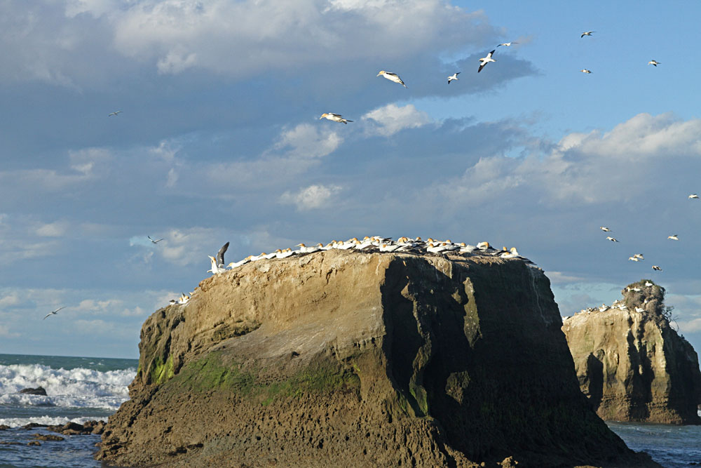 Gannet Colony at Cape Kidnappers, New Zealand