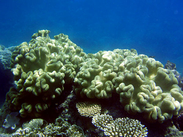 Great Barrier Reef Coral, Queensland, Australia