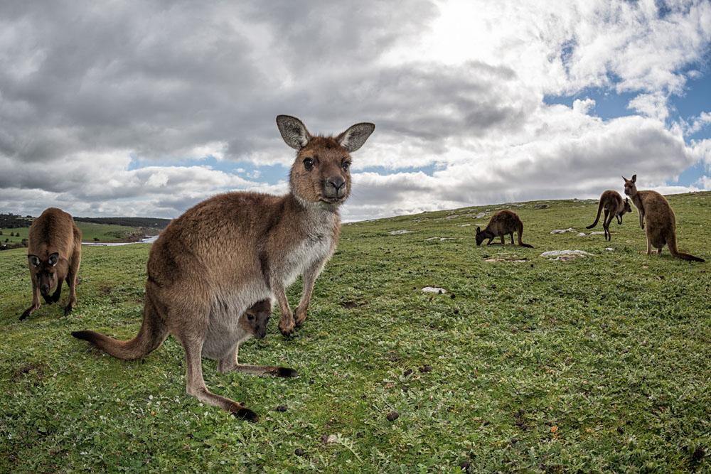 Get Nature Hopping On Kangaroo Island In Australia Goway