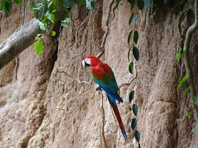 Macaw Clay Lick at the Tambopata River in the Amazon Rainforest, Peru