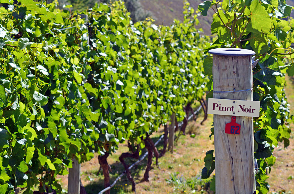 Pinot Noir Sign on Grape Vine in Gibbston Valley in Otago, South Island, New Zealand
