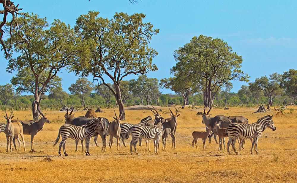 Zebras and Eland on the Plains of Hwange National Park, Zimbabwe