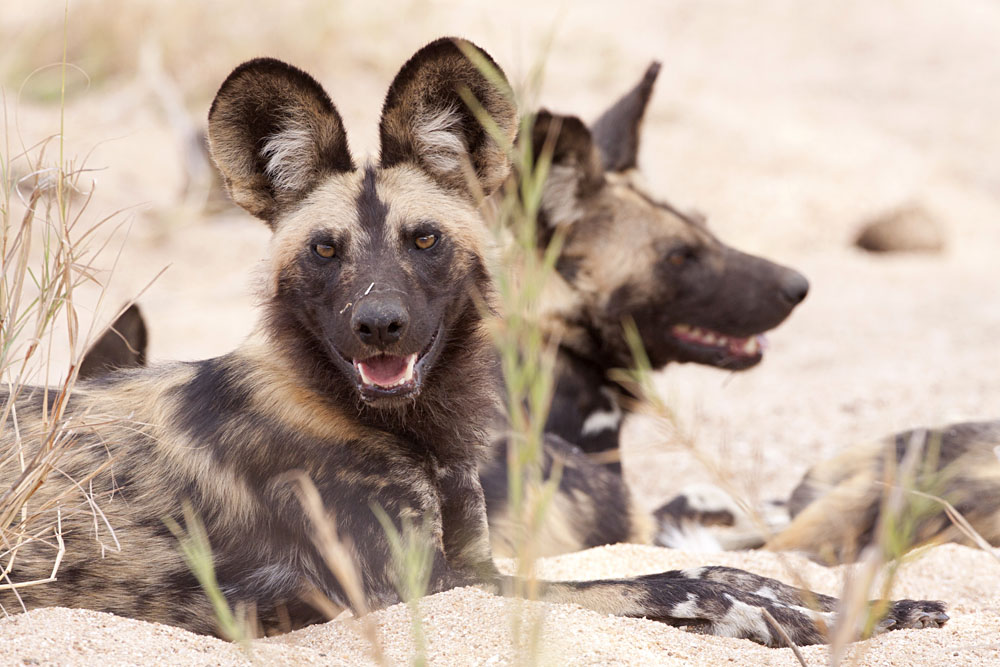 African Wild Dog Resting in a River Bed in Kruger, South Africa