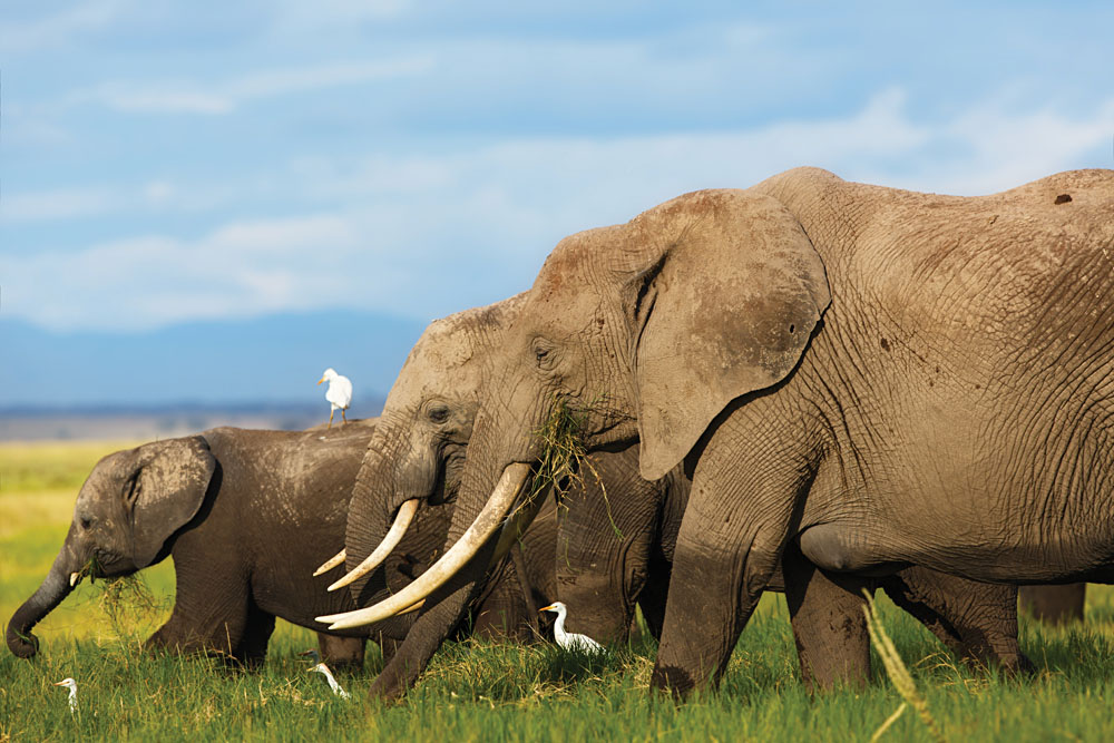 Big Elephant Cow with Daughter and Baby, Amboseli National Park, Kenya