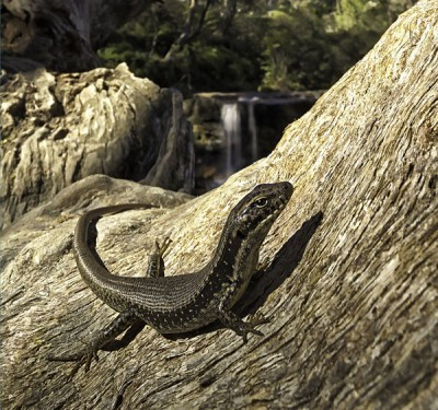 Blue Mountains Water Skink, New South Wales, Australia