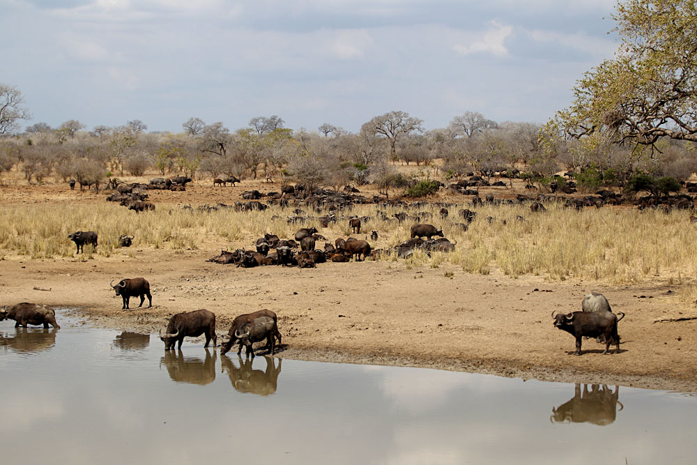 Buffalo at Waterhole in Kruger National Park, South Africa