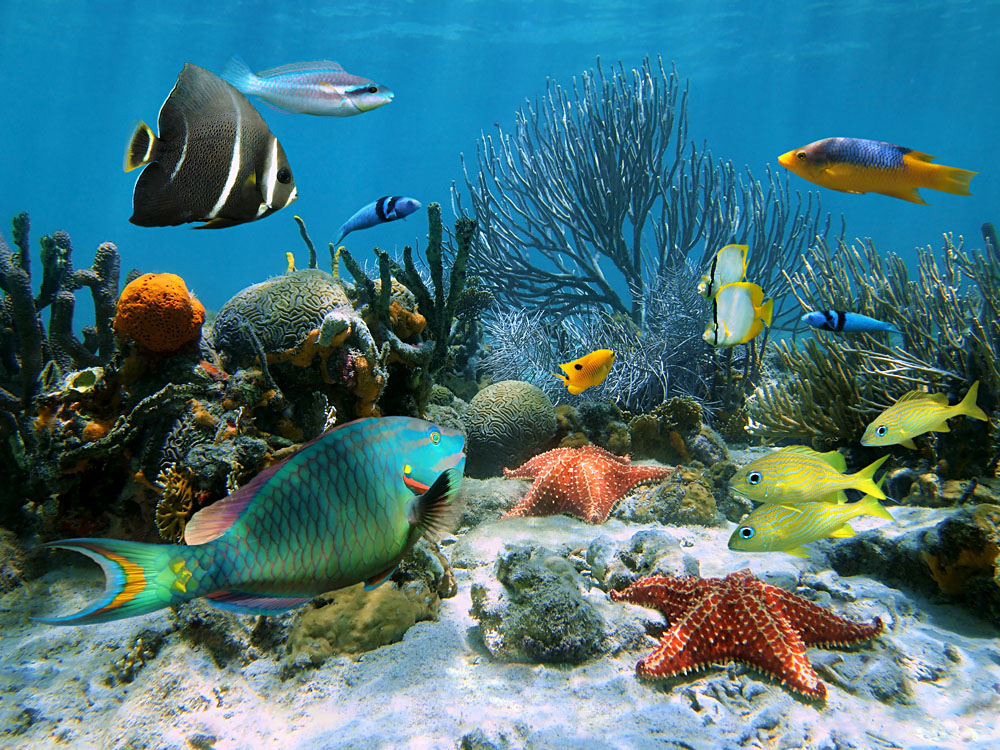 Coral Garden with Starfish and Colourful Tropical Fish, Caribbean Sea, Costa Rica