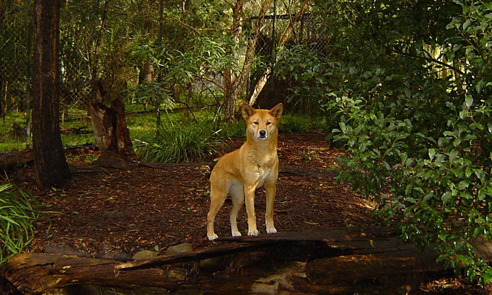 Dingo at Healesville Sanctuary, Victoria, Australia