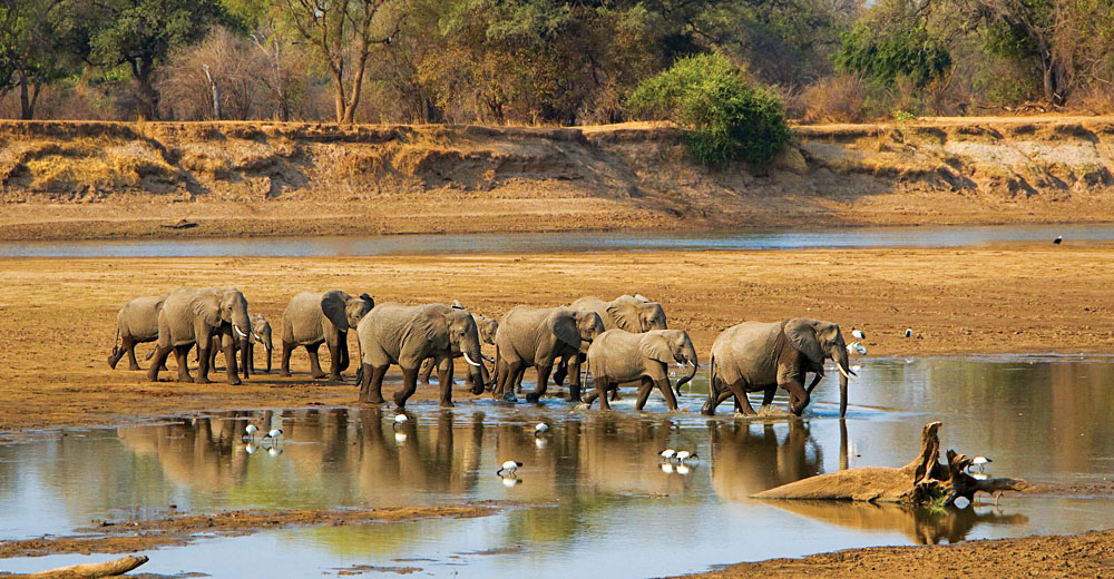 Elephant Herd Crossing Luangwa River, Zambia