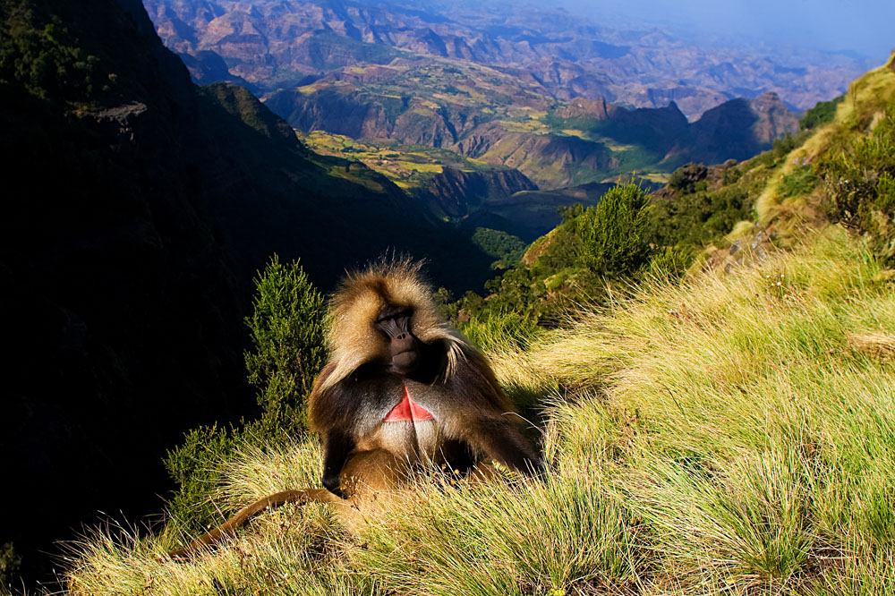 Gelada Baboon Sitting on Top of Cliff in the Semien Mountains, Ethiopia