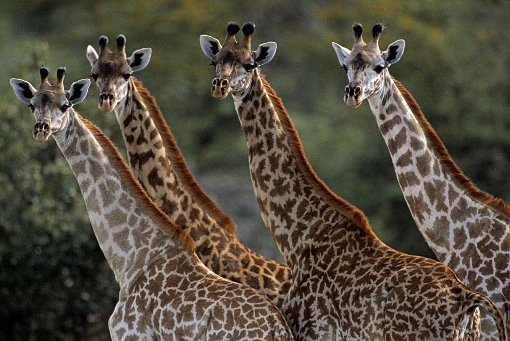 Giraffe Gang of Four in Selous National Park