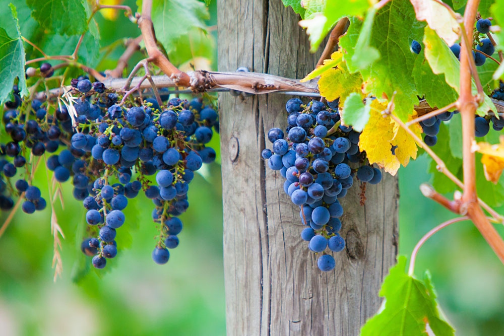 Grapes in Late Harvest at a Winery in Yarra Valley, Victoria, Australia