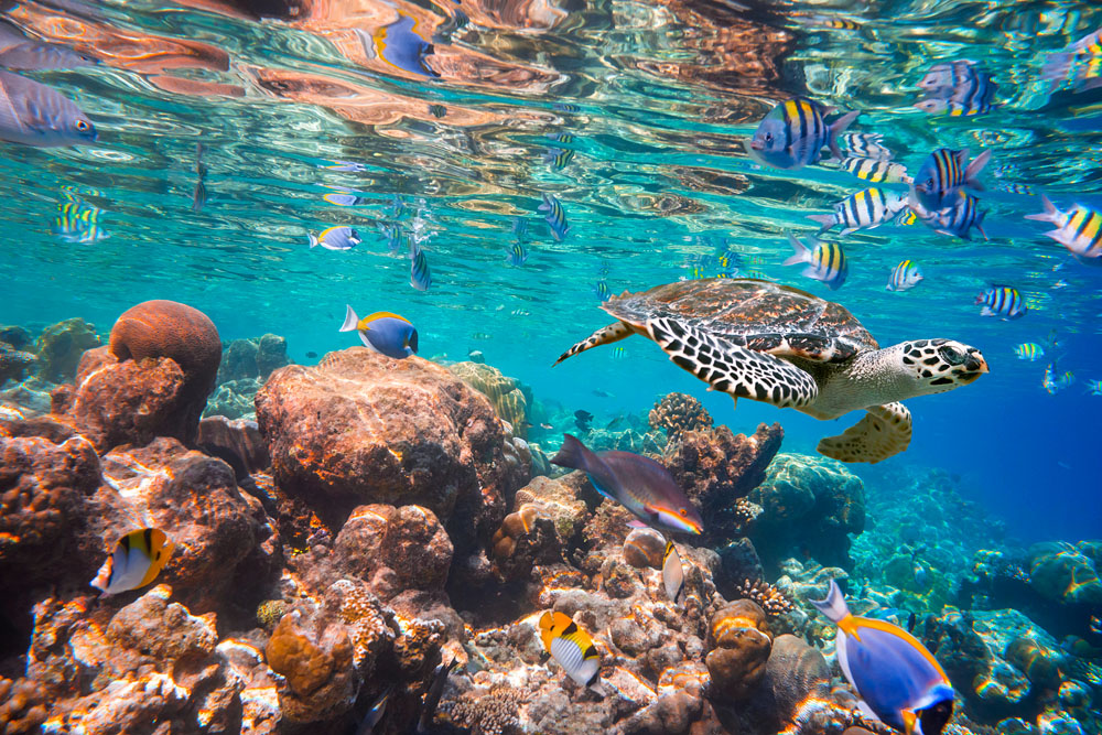 Hawksbill Turtle Swimming in Maldives Indian Ocean Coral Reef