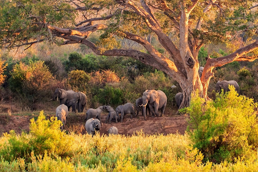 Herd of Elephant at Kruger National Park, South Africa