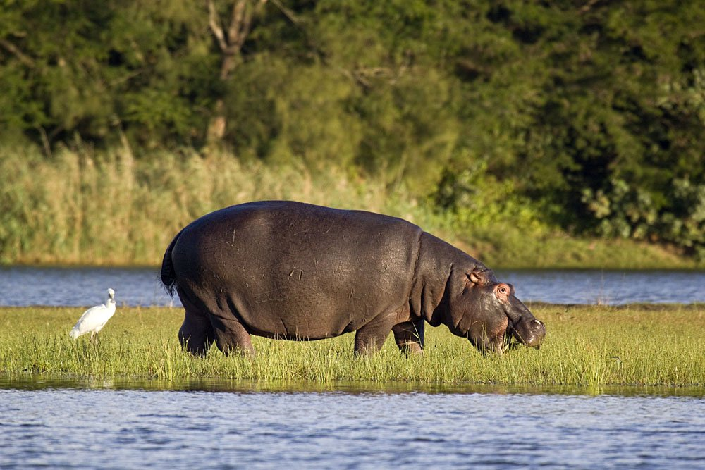 Hippo Feeding out of Water, St Lucia Wetlands, Isimangaliso, South Africa