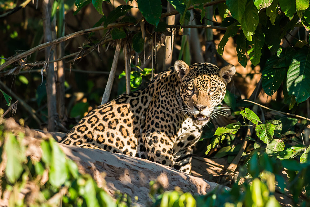 Jaguar in the Peruvian Amazonian Jungle at Madre de Dios, Amazon, Peru