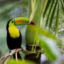 Keel-Billed Toucan in the Rainforest of Belize