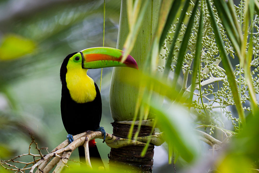 Keel-Billed Toucan in the Rainforest of Belize