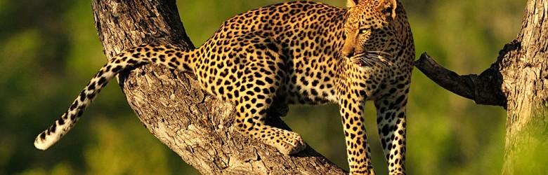 Leopard on Tree Branch, East Africa