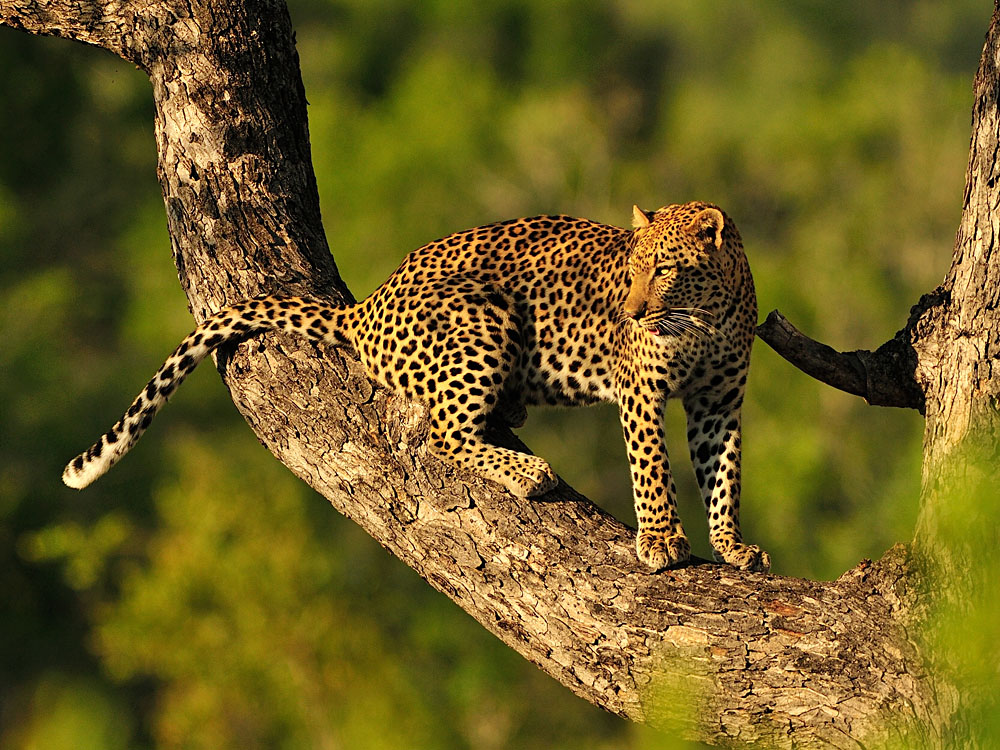 Leopard on Tree Branch, East Africa