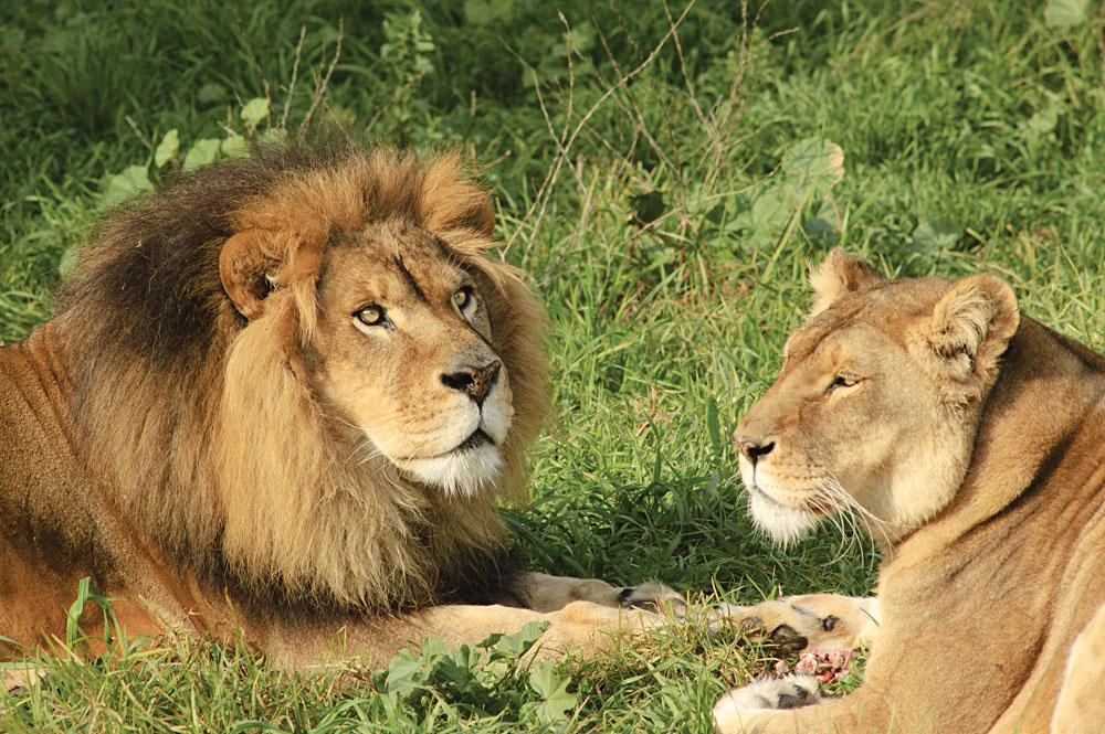 Lion Family in Kruger National Park, South Africa