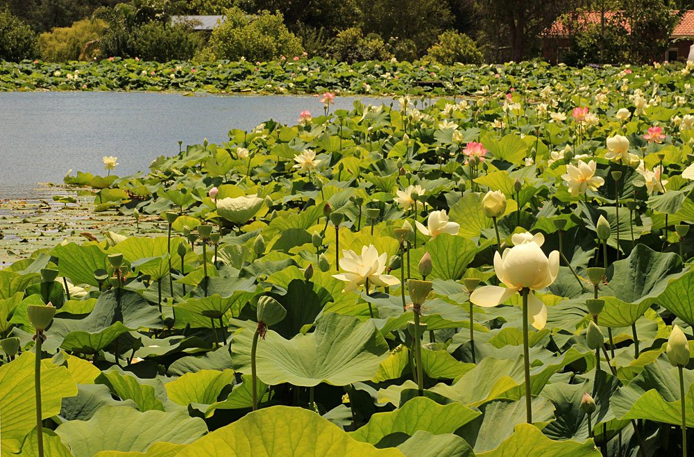 Lotus Garden. Warburton, Victoria, Australia