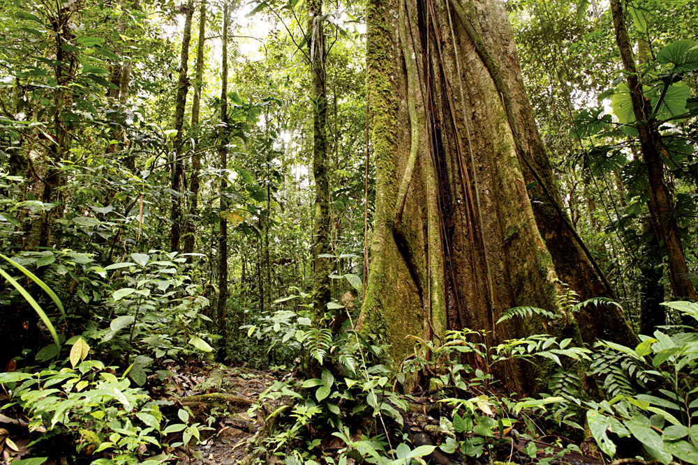 Rainforest Trees of the Amazon, South America