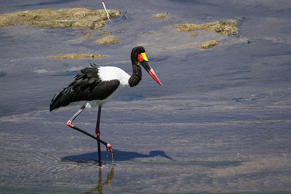 Saddle-Billed Stork in Kruger National Park, South Africa
