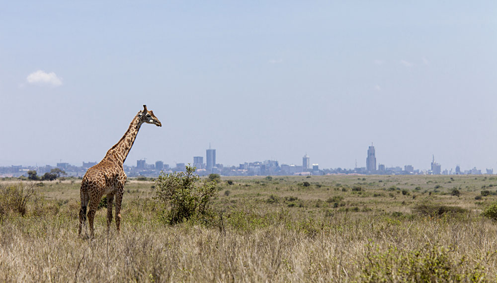 Giraffe in Nairobi National Park with Nairobi Skyline in Background, Kenya