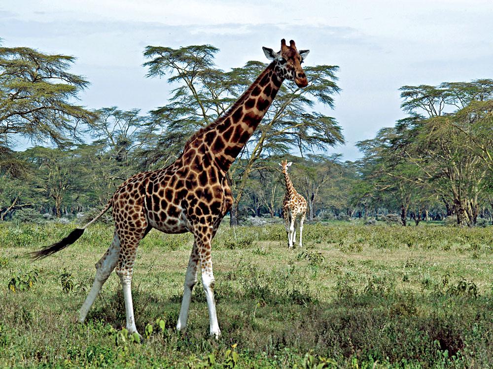 Giraffes at Lake Nakuru, Kenya
