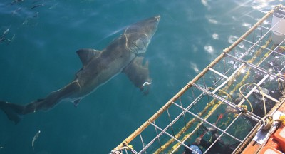 Great White Shark Cage Diving, Cape Town, Western Cape, South Africa