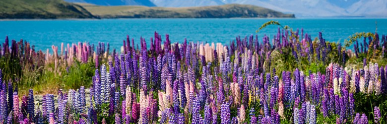 Lake Tekapo with Llupins Blooming, South Island, New Zealand