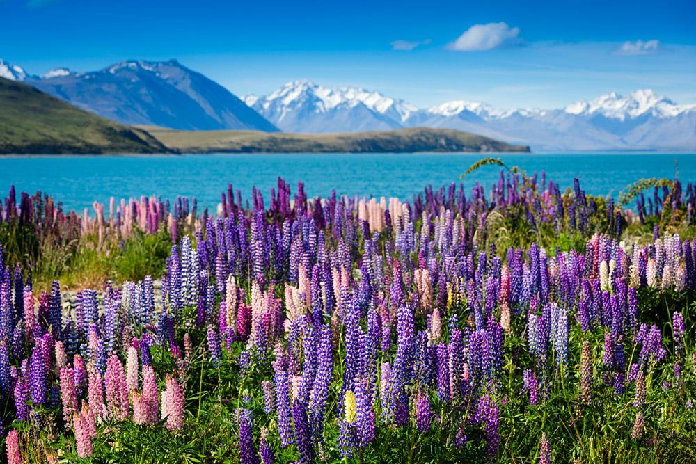 Lake Tekapo with Llupins Blooming, South Island, New Zealand