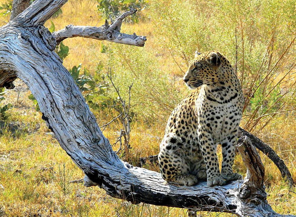 Leopard in Pom-Pom Island, Okavango Delta, Botswana