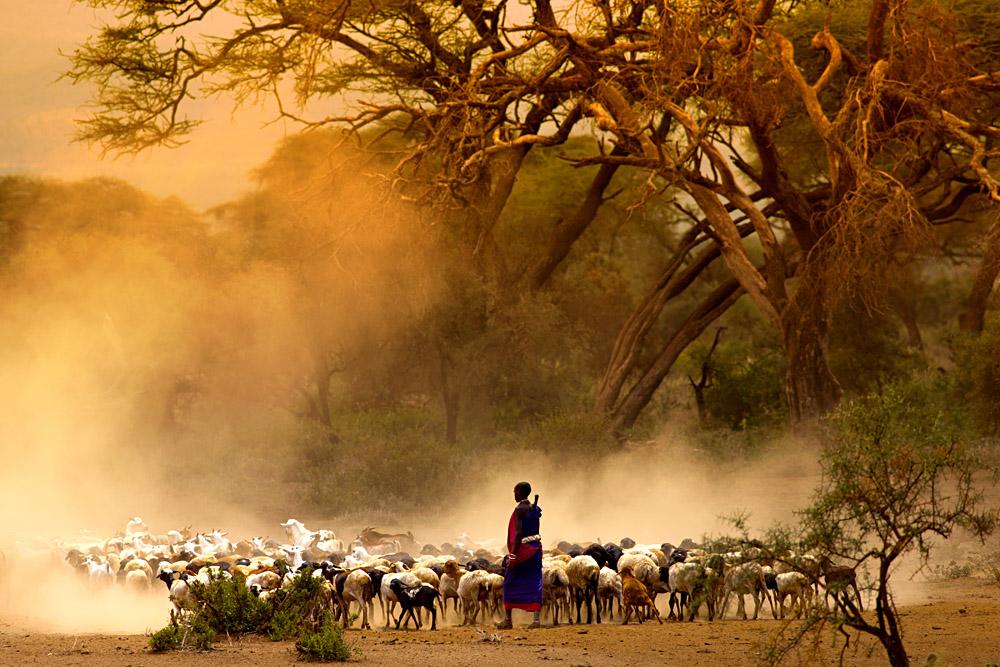Maasai Shepherd Leading Flock of Goats, Kenya, East Africa