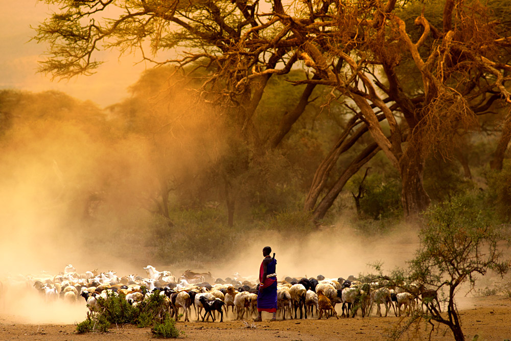 Maasai Shepherd Leading Flock of Goats, Kenya, East Africa
