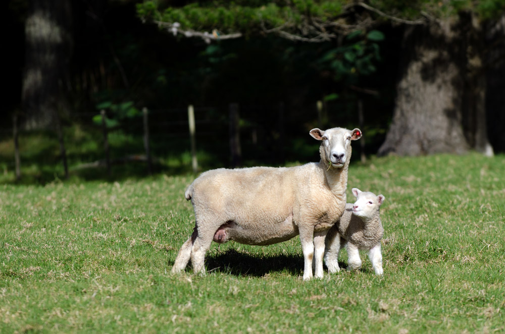 Mother Sheep and Her Lamb During Spring in a Sheep Farm in New Zealand