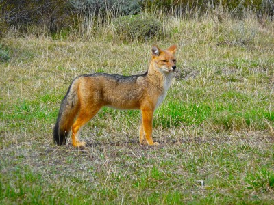Patagonian Red Fox in Torres Del Paine, Chile