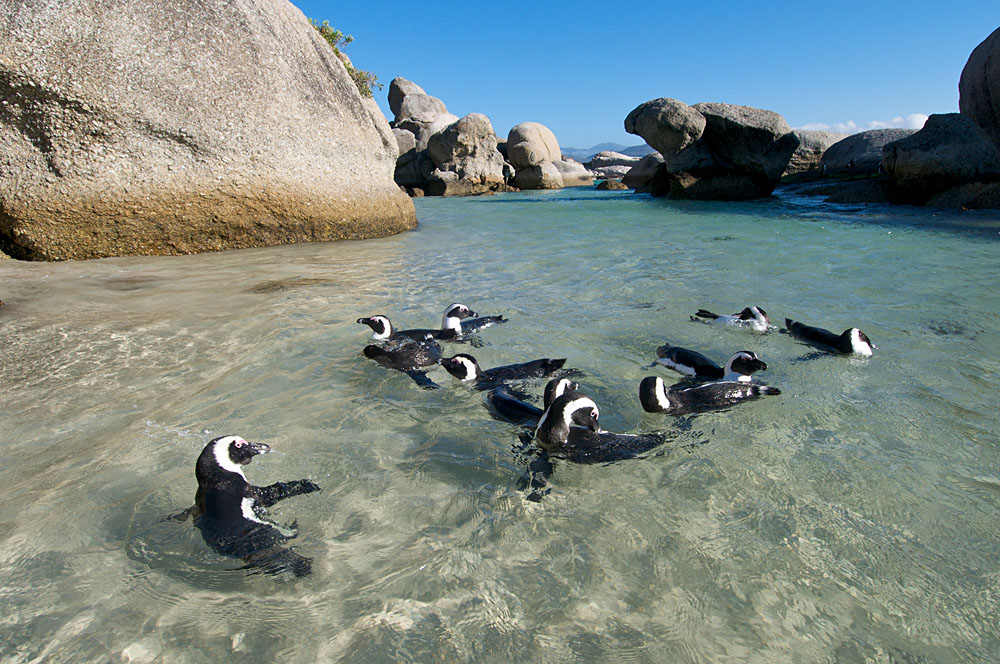 Penguins Splashing Around in Boulders Beach, Cape Town, South Africa