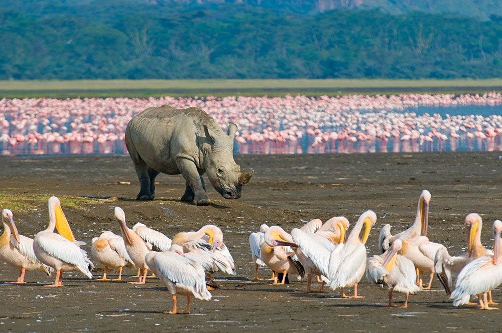 Rhino in Lake Nakuru, Kenya