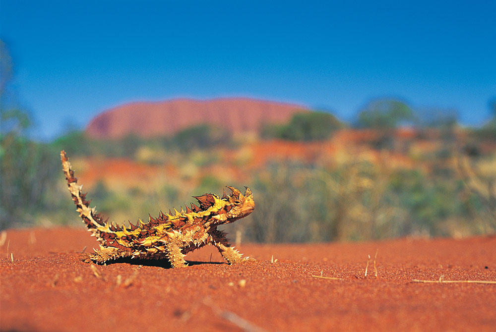 Thorny Devil Found in the Outback, Australia