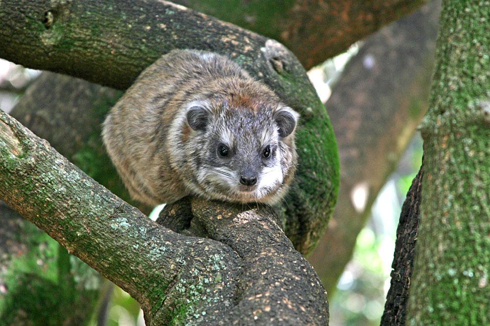 Tree Hyrax in Kenya